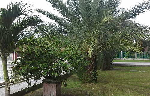 Rumput Hijau dan Pohon yang Rindang Menambah Asri dan Sejuknya Taman Masjid Agung Babussalam Sabang Pulau Weh (Kamis 29 Desember 2016)